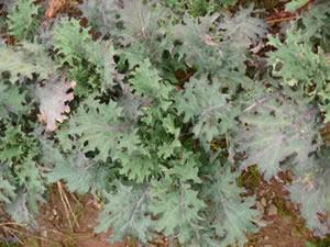 red russian kale planting instructions
